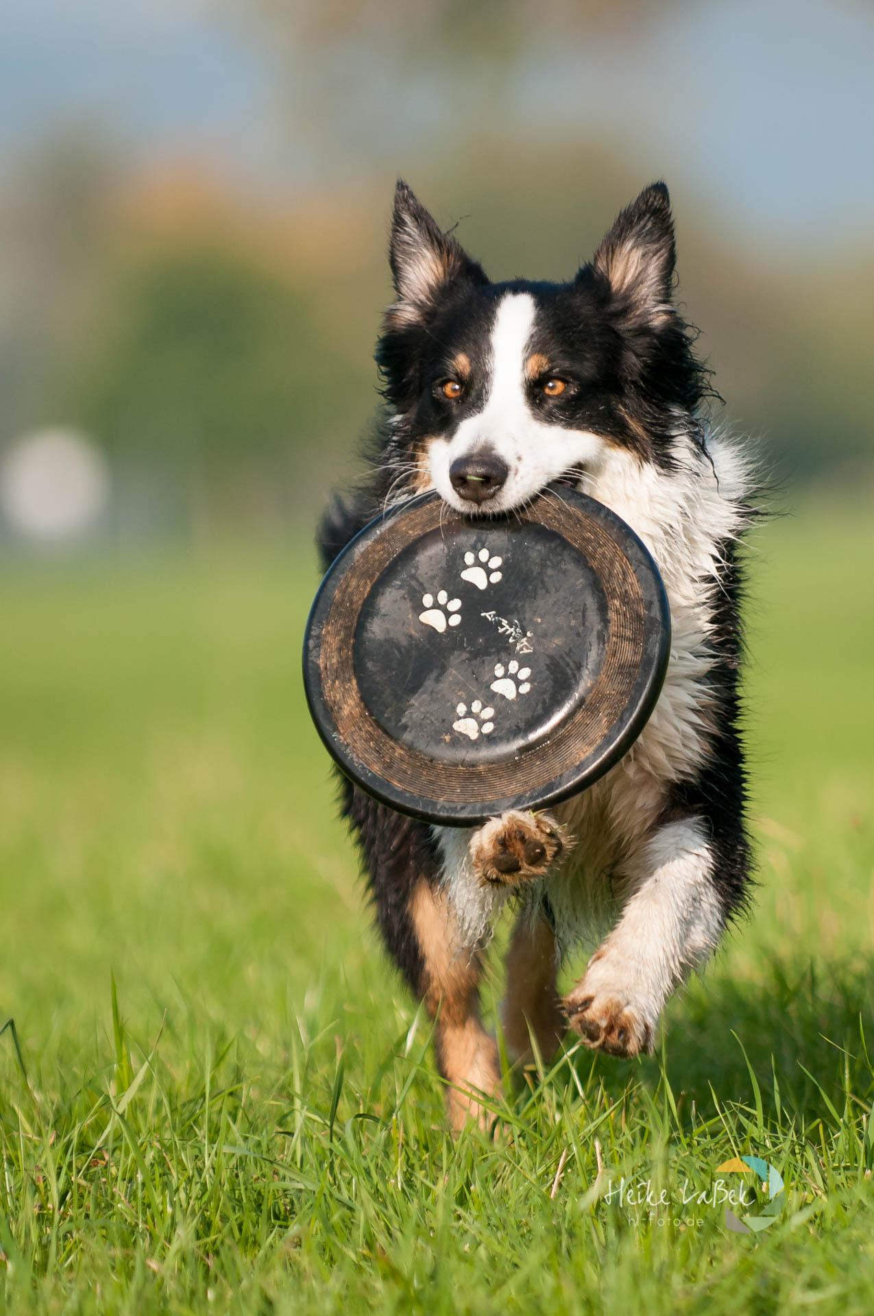 Australian Shepherd mit Frisbee