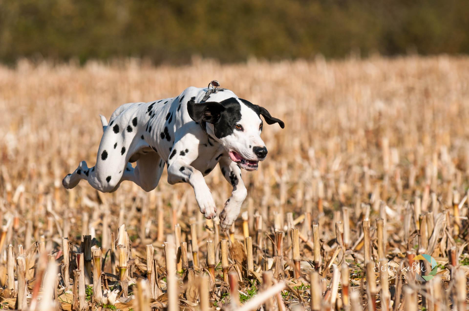 Dalmatiner fliegt über Stoppelfeld
