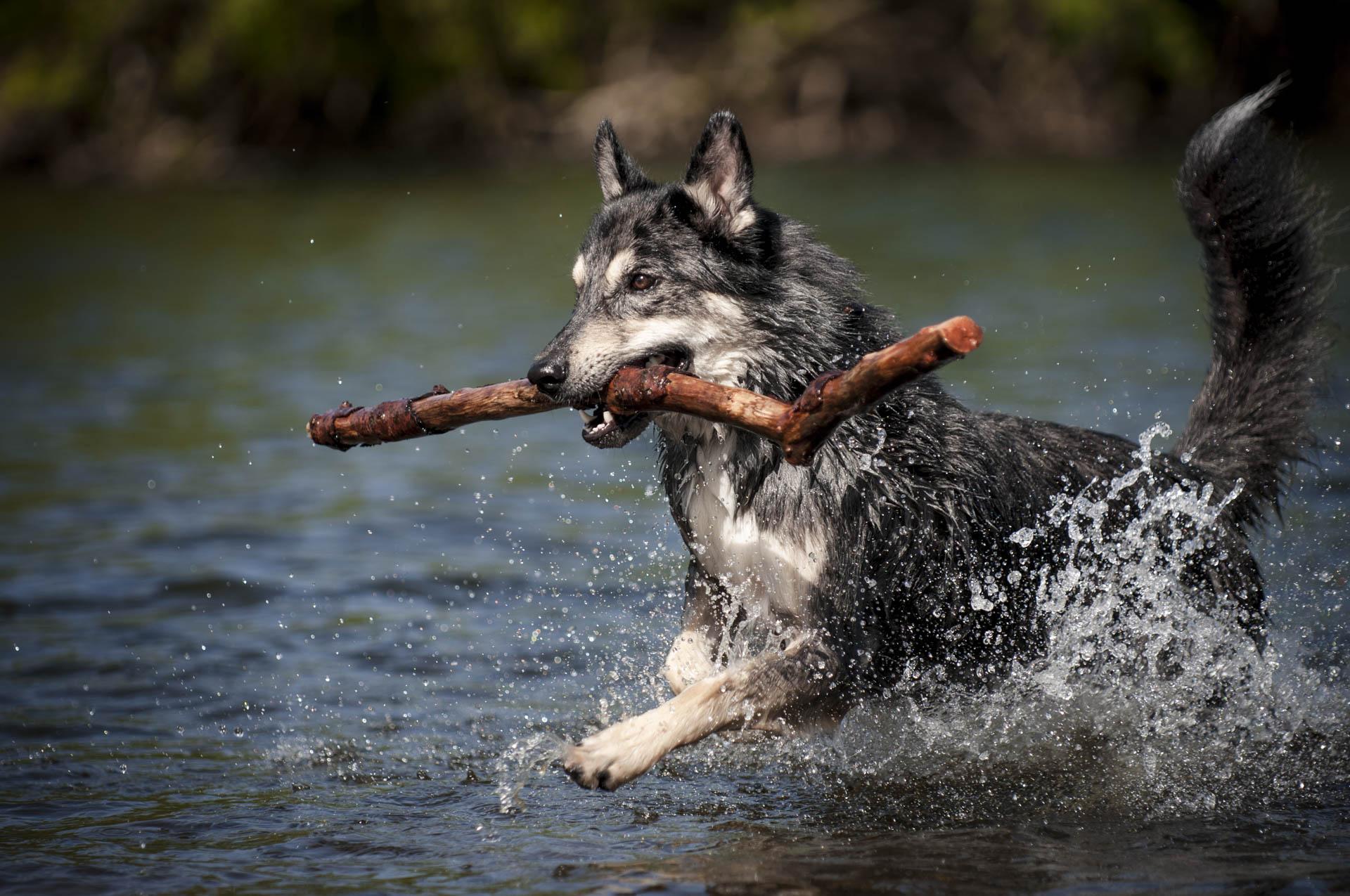 Ein Husky - Mischling läuft durch Wasser und apportiert einen Stock