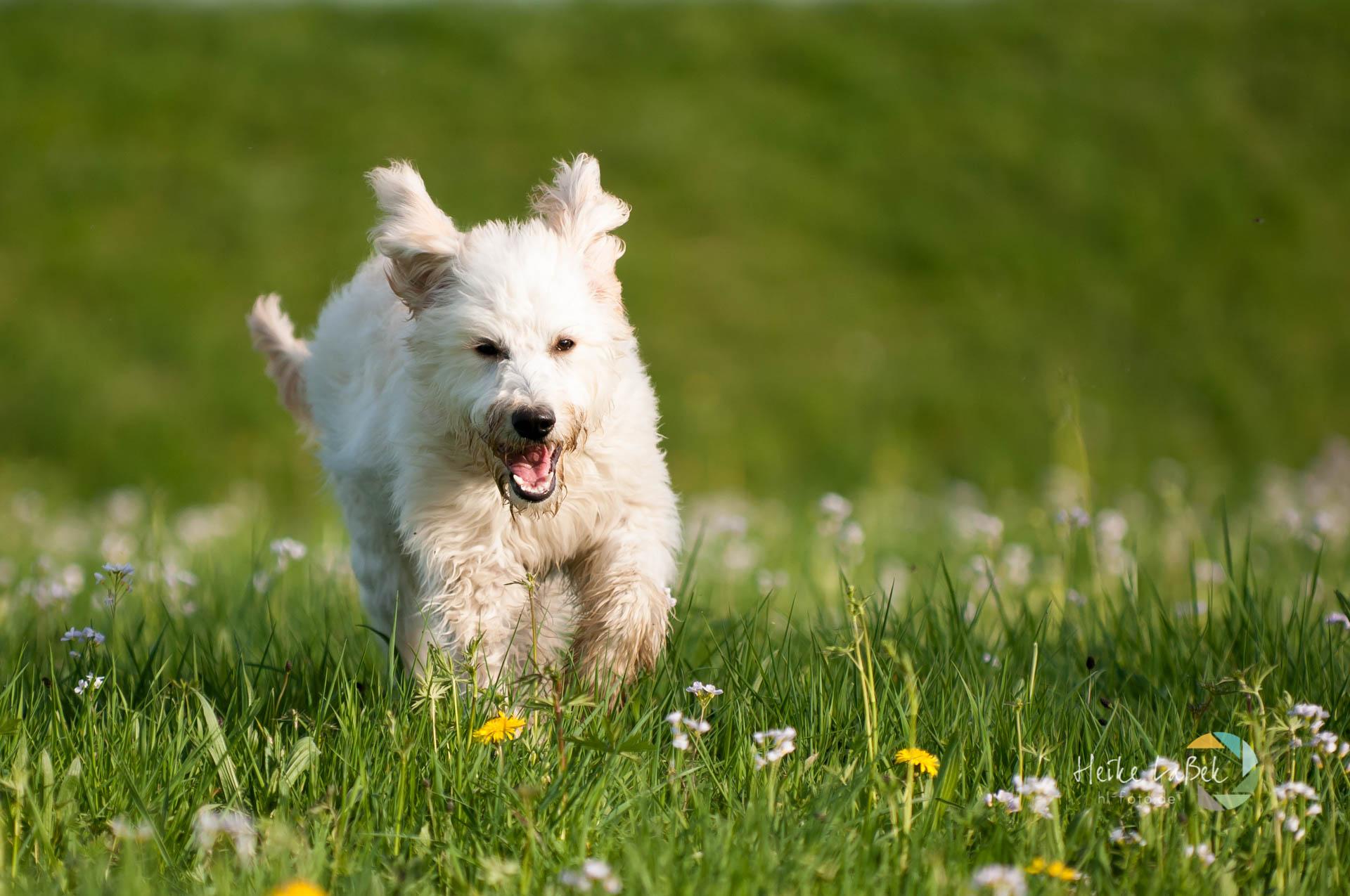 Labradoodle läuft über Blumenwiese
