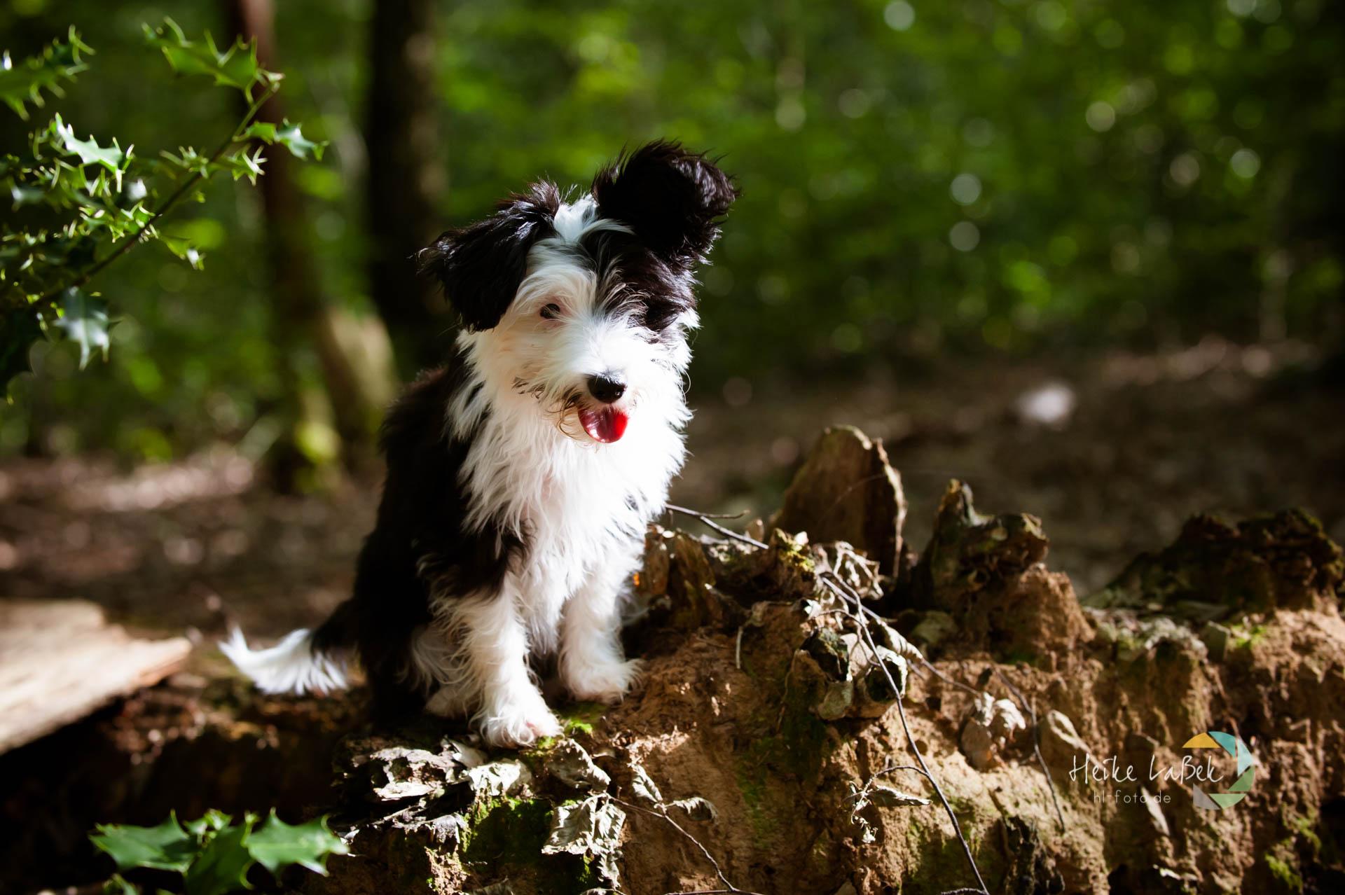 Powder Puff - Chinesischer Schopfhund auf einer Baumwurzel