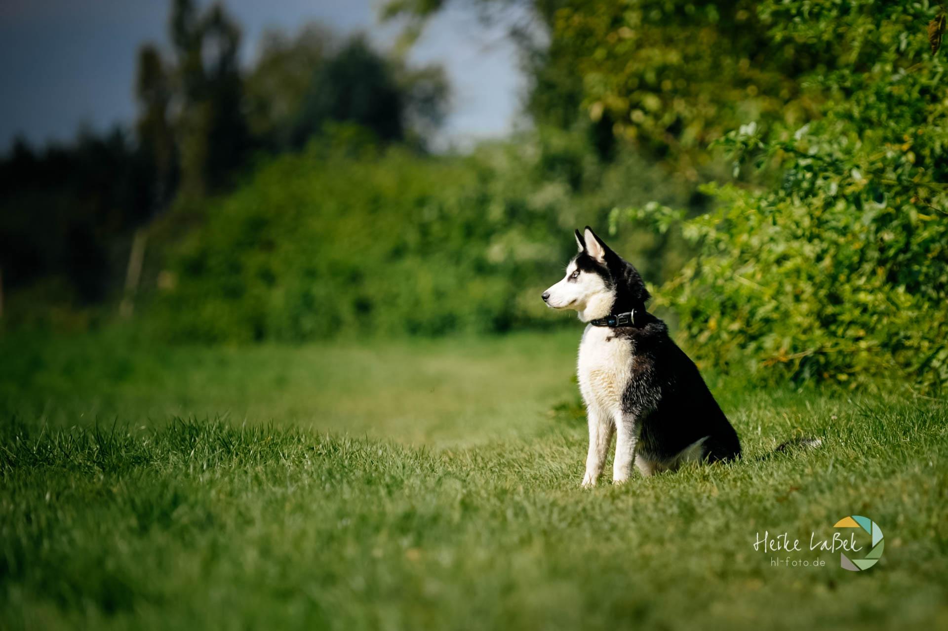 Siberian Husky Hündin