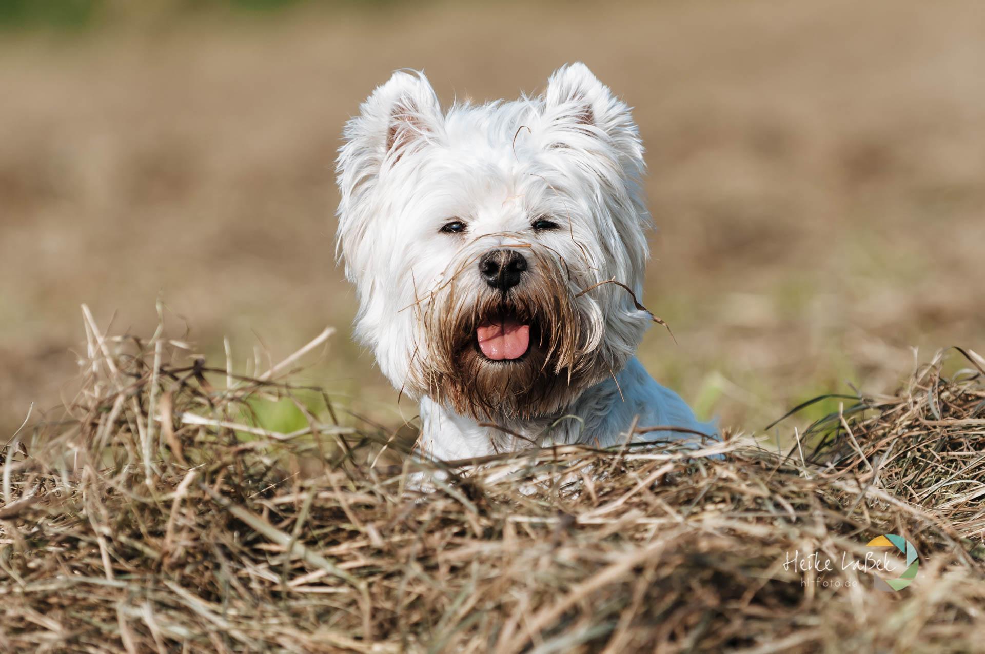 West Highland Terrier Jasper